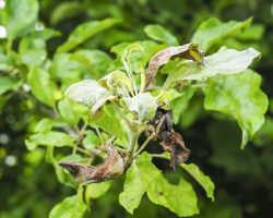 Появление черных пятен на листьях яблони: выявление причин и лечение заболевания