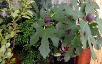 Комнатный инжир: как вырастить дома плодоносящее дерево