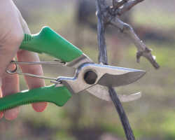 Обрезка винограда для начинающих: сроки, варианты