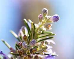 Розмарин: выращивание и полезные свойства