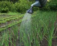 Секреты выращивания многоярусного лука