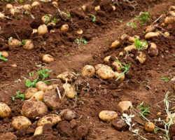 Топ-7 действенных способов подготовки картофеля к посадке для получения богатого урожая