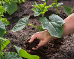 Выращивание огурцов в открытом грунте – хитрости, приемы