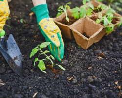 Выращиваем помидоры без стадии рассады