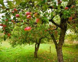 Осыпаются яблоки – подкормите дерево