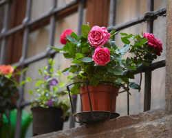Комнатная роза: правила ухода за своенравным цветком