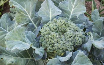 Выращивание и уход за брокколи