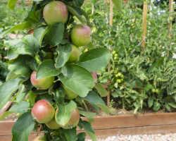 Выращивание колонновидной яблони