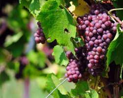 Посадка винограда черенками — тонкости процедуры