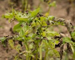 Причины почернения листьев картофеля, как избежать последствий