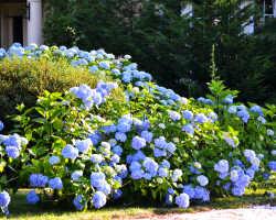 Подкормка гортензий весной как залог роста и цветения