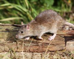 Земляная крыса на садовом участке: способы избавления от вредителя