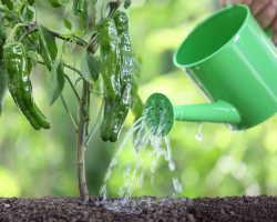 Причины скручивания листьев у перца и томатов и как их устранить