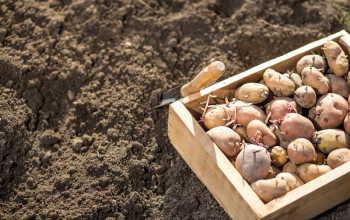 Как выращивать картофель много лет на одном месте без вреда