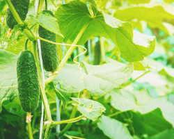 Как увеличить урожай огурцов при помощи борной кислоты