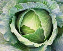 Сохраняем капусту свежей в течение полугода