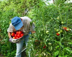 Сорта томатов для теплицы и для открытого грунта — получаем богатый урожай
