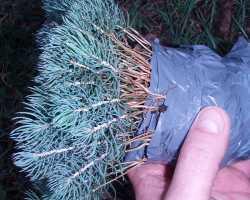 Размножение голубой ели черенками — секреты простого выращивания