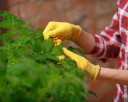 Почему рассада помидоров желтеет – выявление и устранение причин