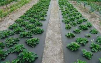 Технология увеличения урожайности клубники: посадка на агроволокно