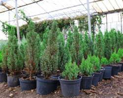 Новый тренд дачного дизайна — хвойные растения. Это дешево, просто и красиво