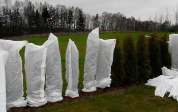 Укрытие молодых хвойных деревьев и кустарников на зиму — обеспечиваем защиту от морозов и ветра