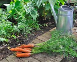 Когда убирать урожай моркови, чтобы не прогадать со сроками