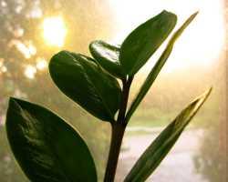 Возможно ли цветение замиокулькаса в комнатных условиях