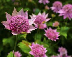 Садовые культуры, вызывающие восхищение: многолетники, которые цветут все лето