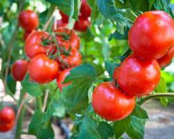 Фавориты нового сезона — выбираем томаты, которыми будем наслаждаться в 2021 году