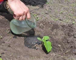 Полив огурцов — как получить богатый и вкусный урожай