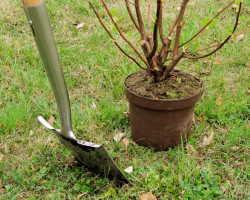 Осенняя техника посадки смородины черенками