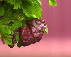 Краснеют листья у смородины: причины, что делать