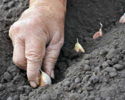 Три секрета и два бесплатных компонента для выращивания ядреного урожая озимого чеснока без хлопот