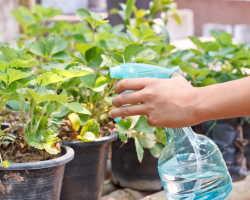 Особенности выращивания кустов клубники дома в горшках