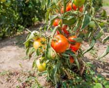 Топ-3 лучших сортов низкорослых томатов