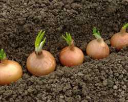 Как вырастить крупные головки лука и сохранить их