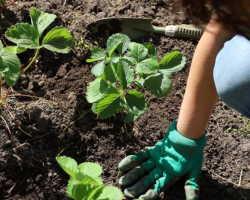 Как выбрать здоровую и крепкую весеннюю рассаду клубники