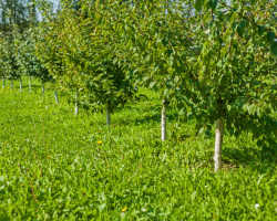 4 основные причины отсутствия урожая на яблоне