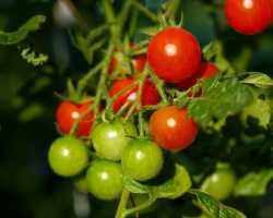 Выращиваем урожай помидоров на балконе: какой сорт выбрать