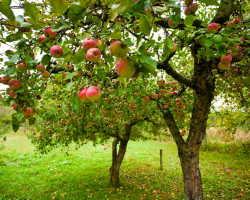 Создание фруктового сада на участке — как выбрать саженцы