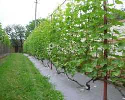 Шпалеры для винограда своими руками – под силу даже новичку