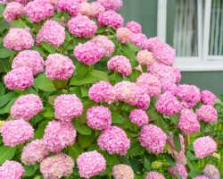 Основные заболевания гортензии, а также вредители этого растения