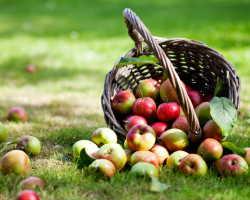 Как правильно собирать и хранить яблоки