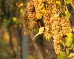 Как грамотно провести укрытие винограда на зиму?