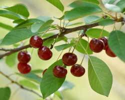 Крепкая и здоровая вишня: осенняя подкормка