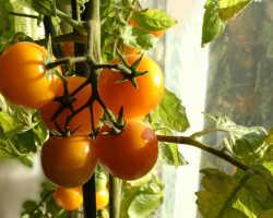 Урожай без компромиссов: самые стойкие сорта томатов