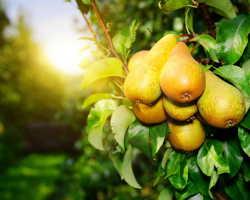 Одобренные ценителями. Самые вкусные сорта садовых груш