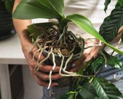 Корневая система орхидеи засохла: как ее реанимировать