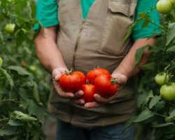 Какие ошибки допускают овощеводы при выращивании помидоров